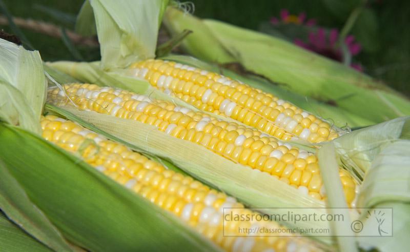 photo-freshly-picked-corn-from-farm-247.jpg