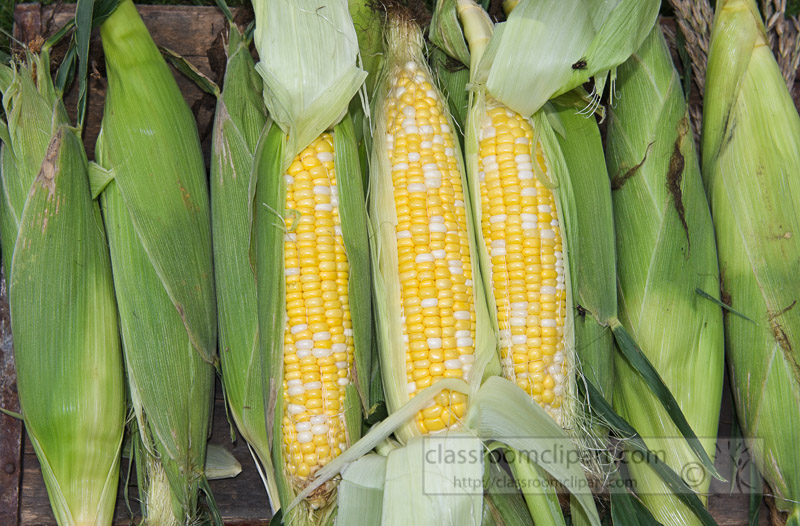 photo-freshly-picked-corn-from-farm-252.jpg