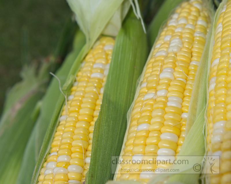 photo-freshly-picked-corn-from-farm-258.jpg