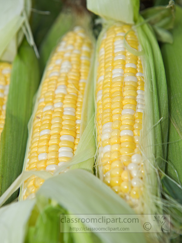 photo-freshly-picked-corn-from-farm-262.jpg