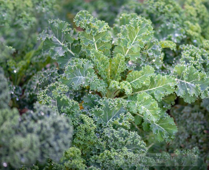 fresh-kale-growing-in-garden--03005e.jpg