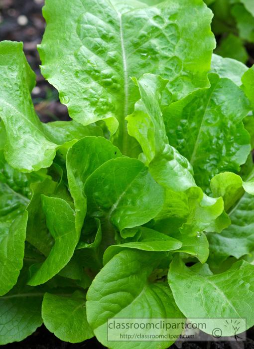 lettuce_93b.jpg
