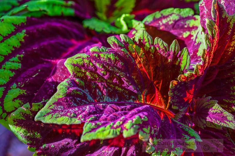 bright-colors-of-coleus-plant-closeup-of-leaves-photo-image-346.jpg