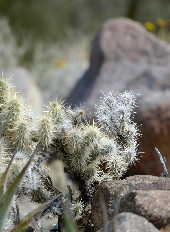 california-desert-cacti_picture-11472.jpg