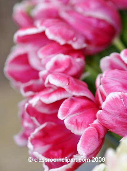 pink-tulips-holland.jpg
