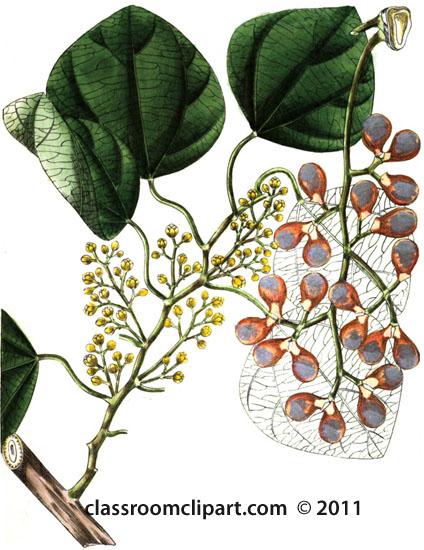 plant-illustration-menispermaceae-3.jpg