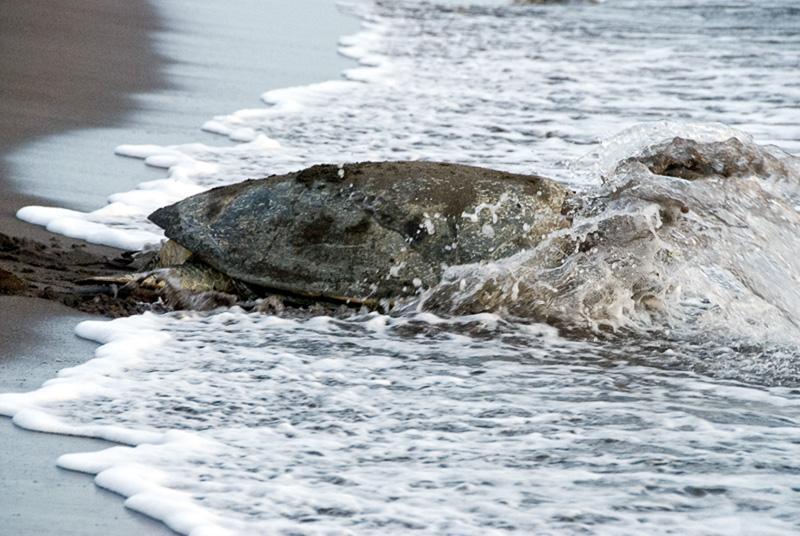 Sea-Turtle-Costa-Rica-Photo-202.jpg
