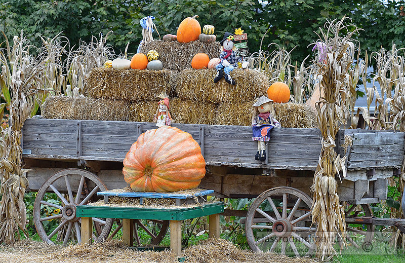 old-wagon-with-pumkins-in-corn-field-7AA.jpg