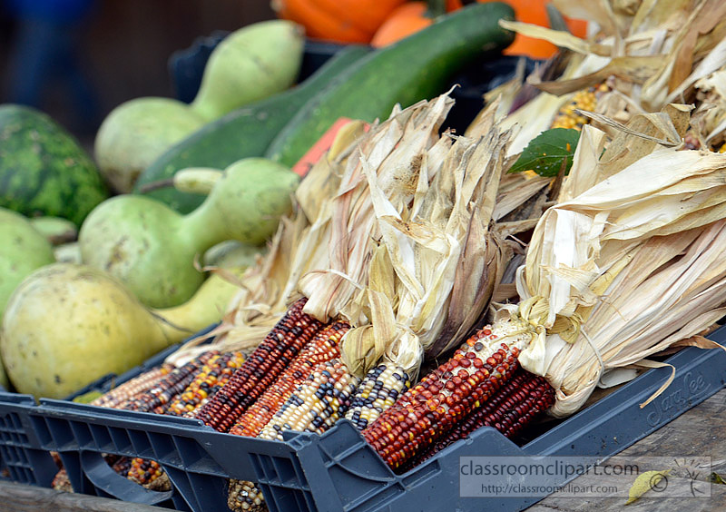 picture-indian-corn-with-gourds-80A.jpg