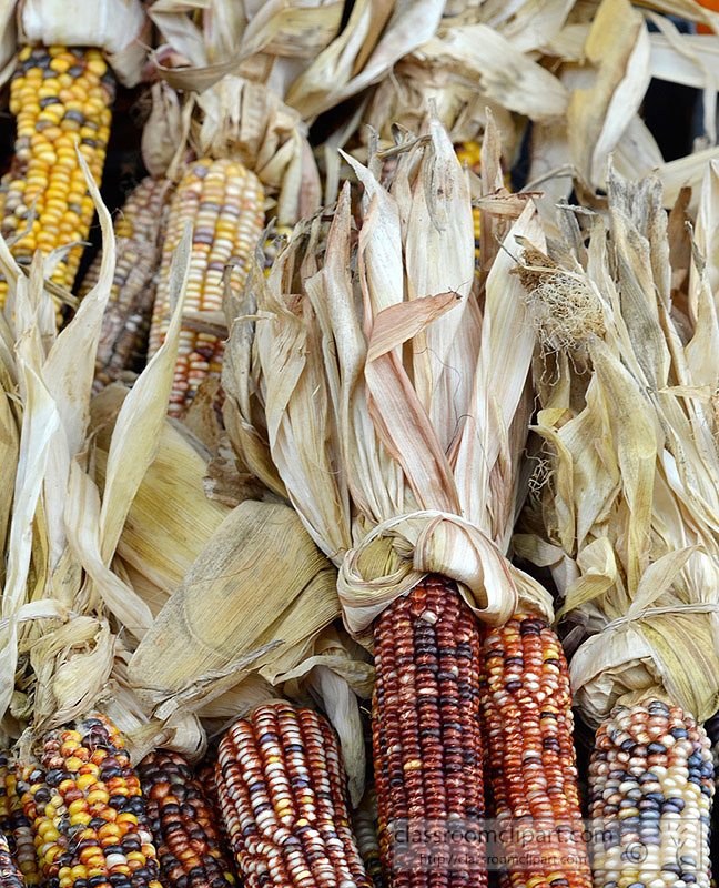 picture-indian-corn-with-husks-70A.jpg