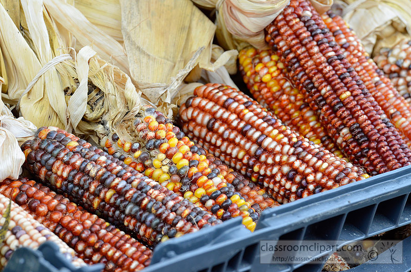 picture-seasonal-indian-corn-1013A.jpg