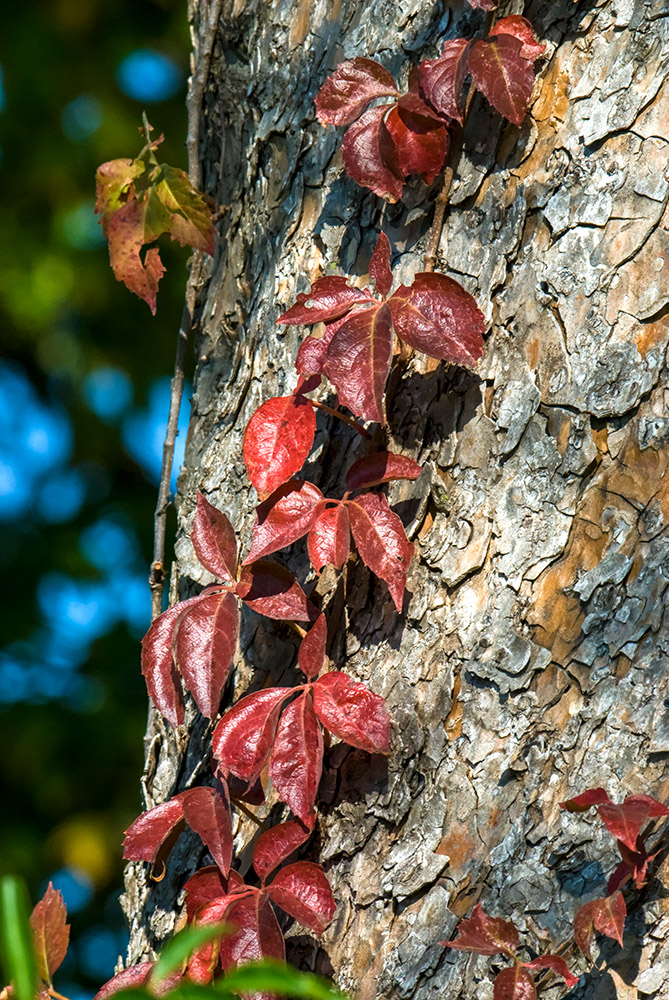 closeup-vine-with-red-leaves-growing-on-tree-trunk.jpg