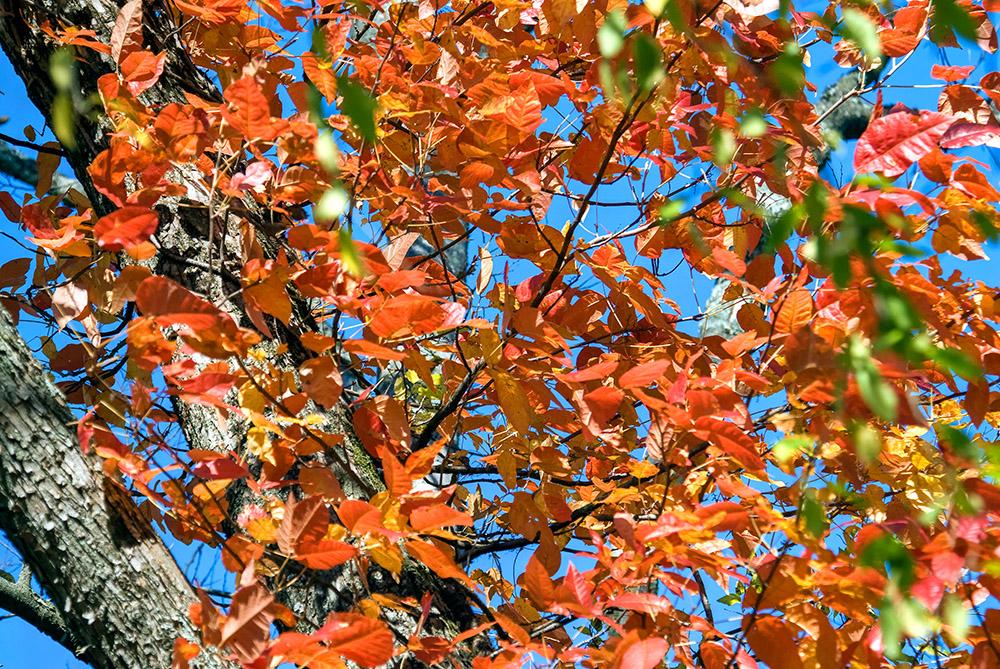 colorful-fall-folliage-maple-leaves-on-tree.jpg
