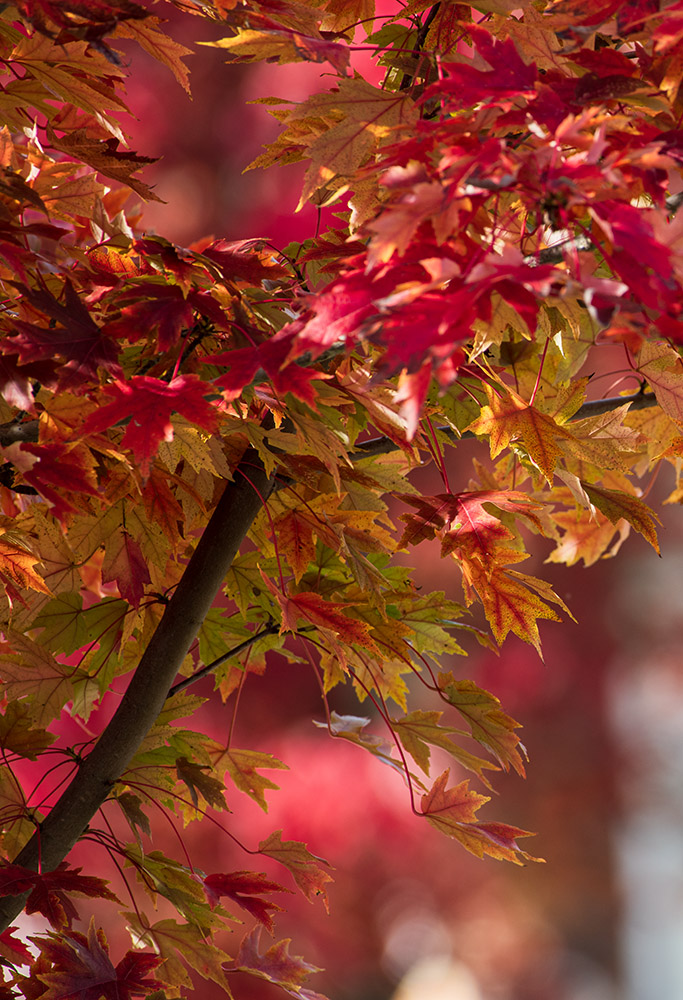 maple-tree-with-colorful-fall-foliage-7653.jpg