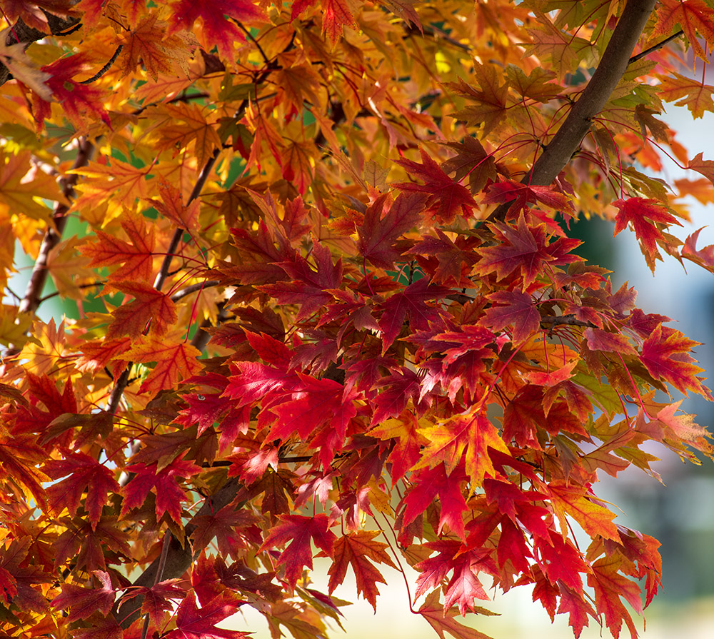 maple-tree-with-colorful-fall-foliage-7654.jpg