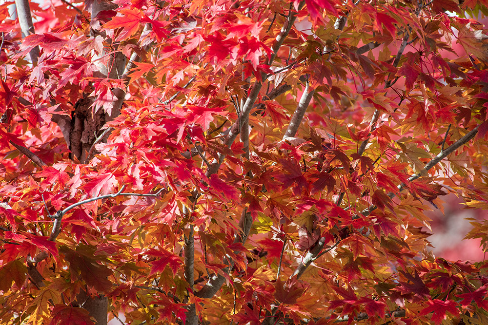 maple-tree-with-colorful-fall-folliage.jpg