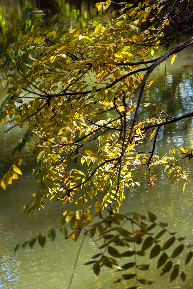 tree-leaves-and-stems-hanging-over-pond.jpg