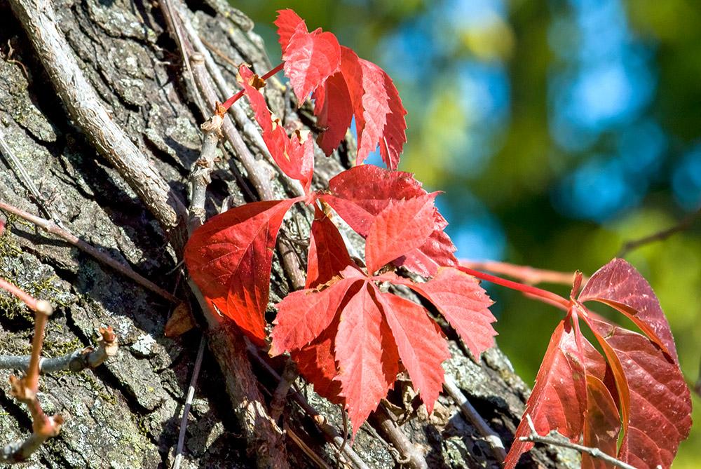 vine-with-orange-leaves-growing-on-tree-trunk.jpg