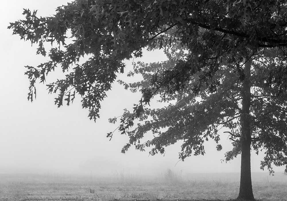 fog fills background of field large tree with fall folliage.jpg