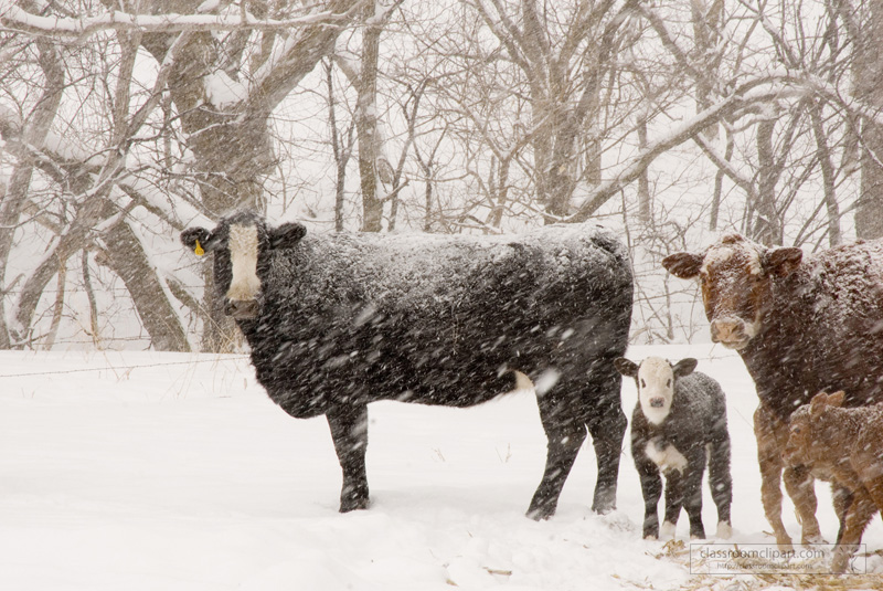 cattle_in_snow_446.jpg