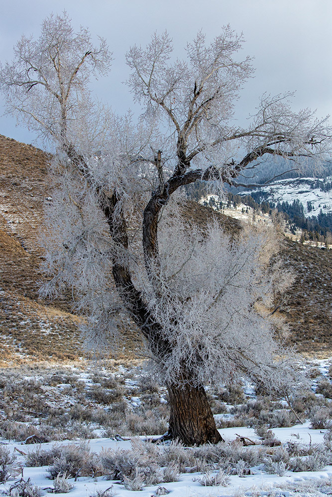 frosted-ice-covered-cottonwood-tree-yellowstone.jpg