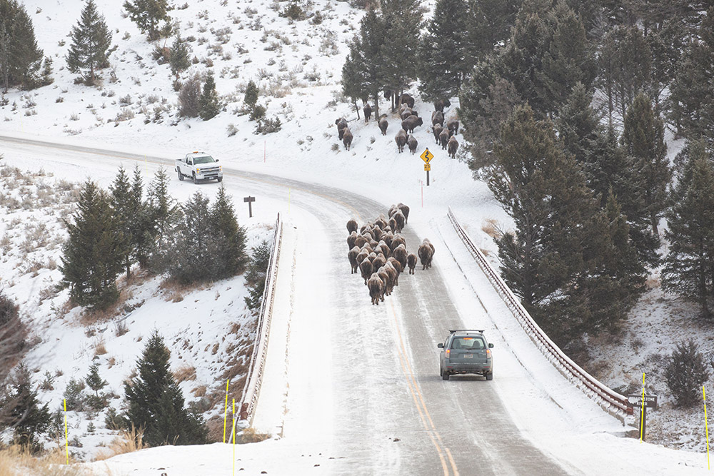 herd-of-bison-crossing-snow-convered-birdge-over-the-yellowstone-river.jpg