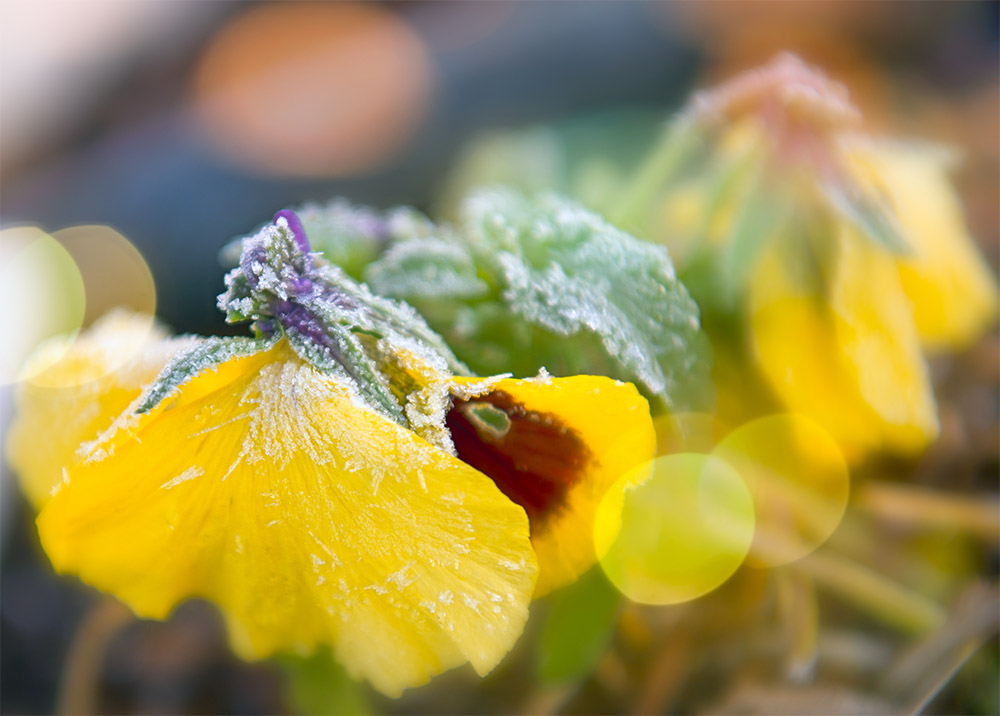morning ice on yellow pansy flower with sunlight in background.jpg