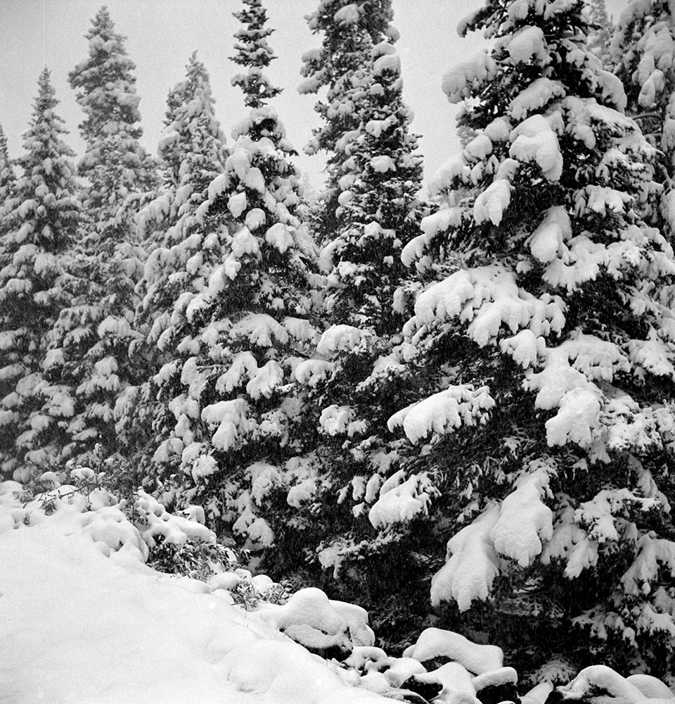 pine-trees-covered-with-snow-after-early-fall-blizzard-1941.jpg