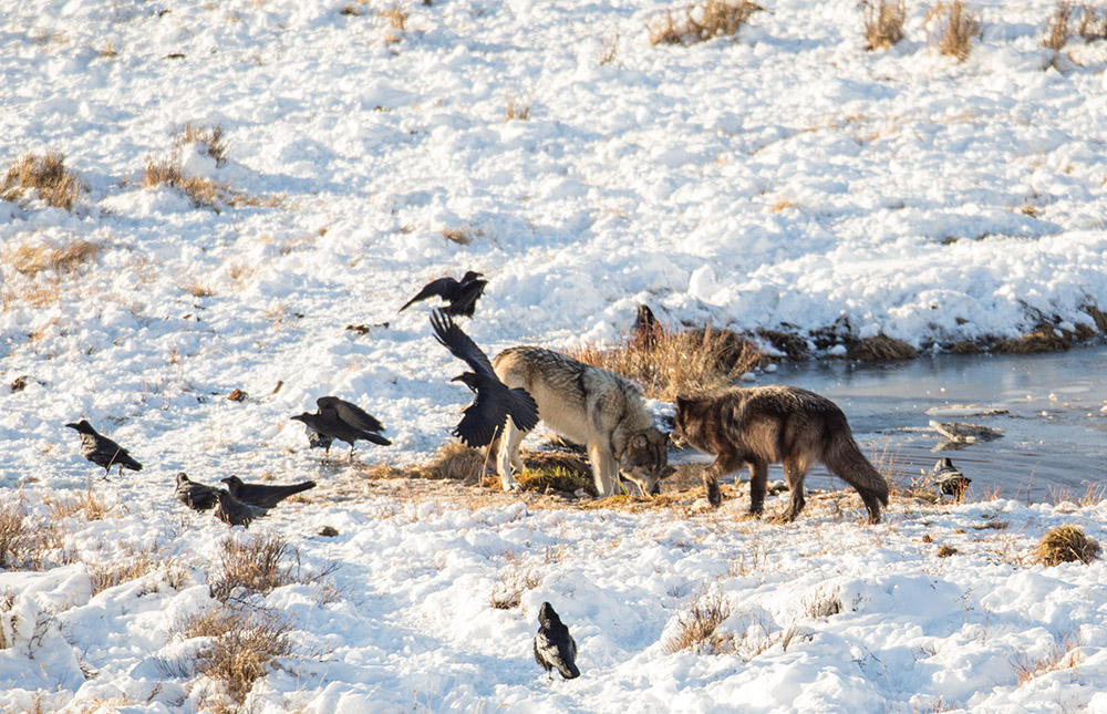 wolves-at-snow-covered-blacktail-pond-yellowstone.jpg